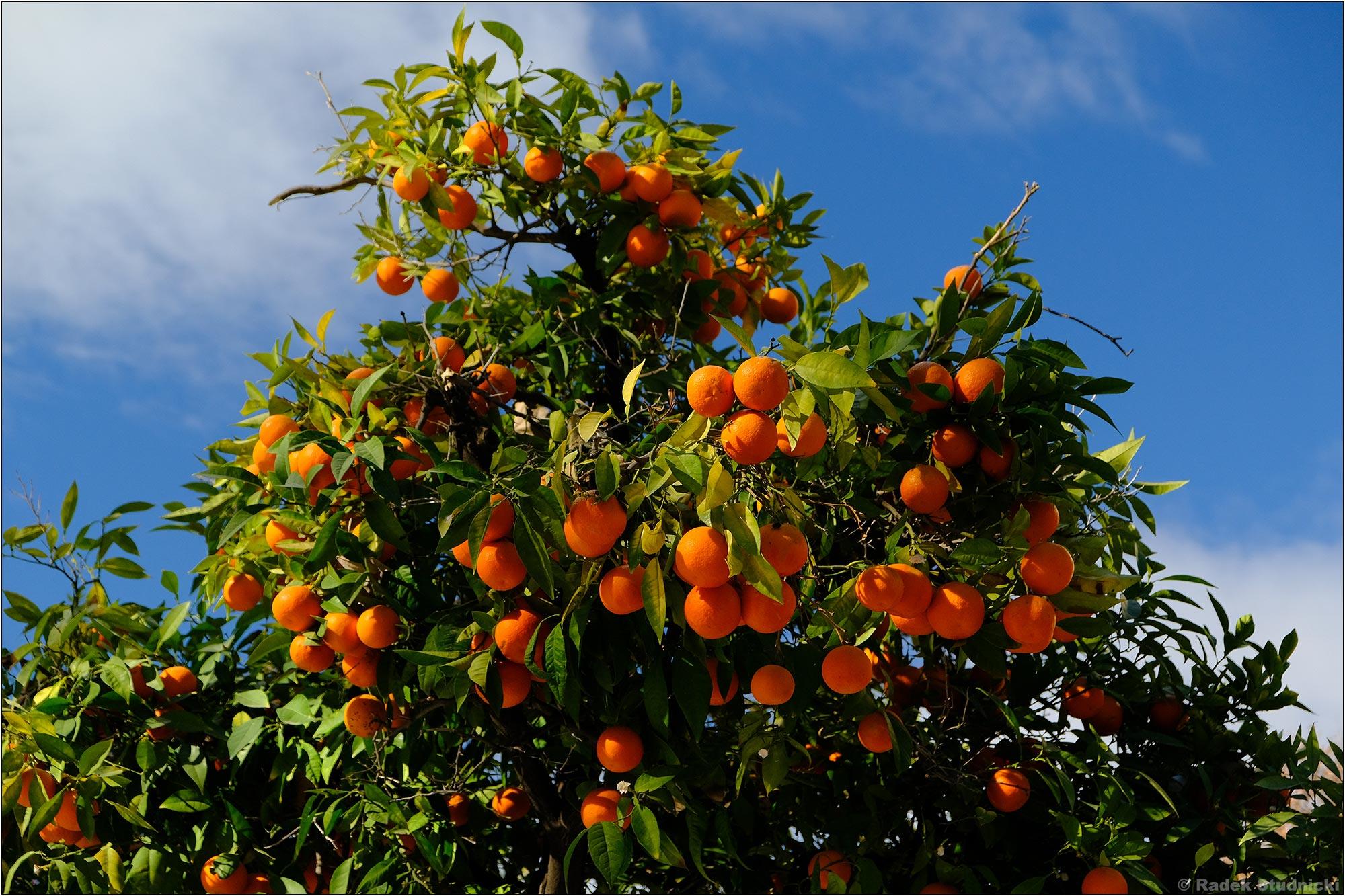 Sewilla pachnie pomarańczami