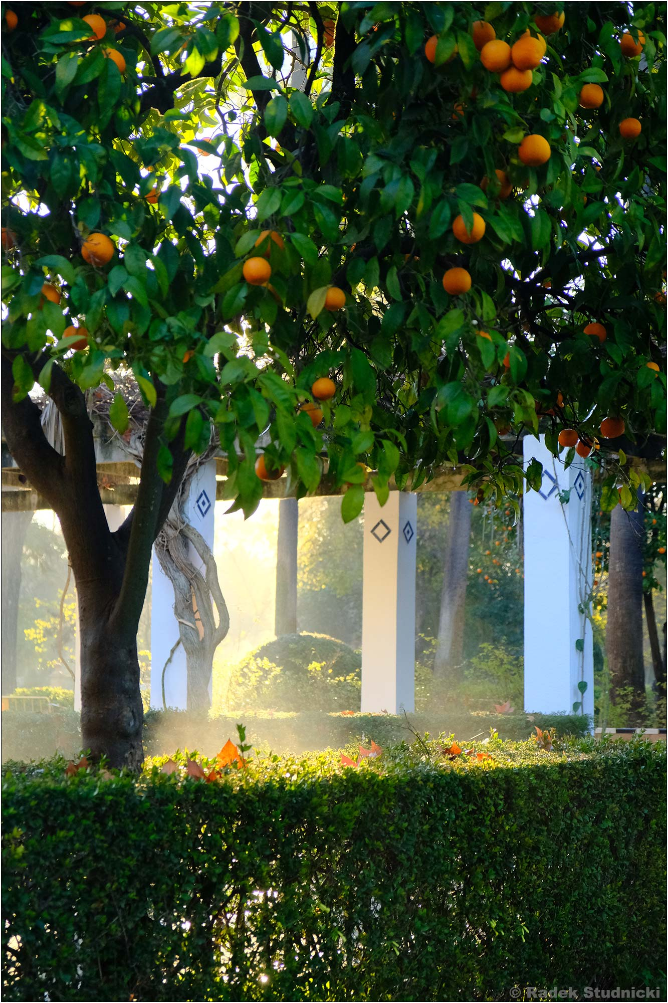 Drzewa pomarańczowe w porannym słońcu