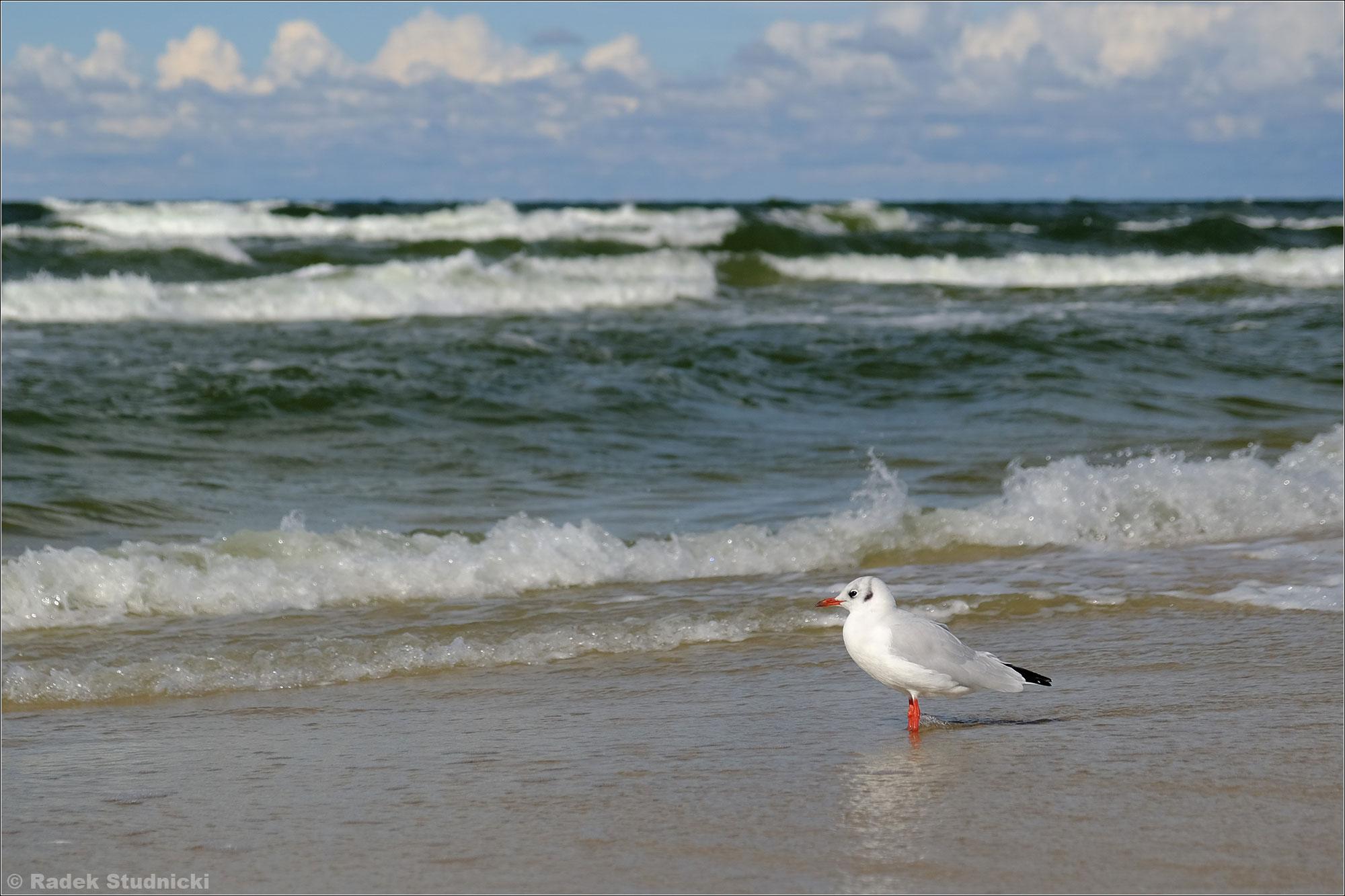Mewa nad Bałtykiem